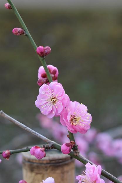 写真: 八重に咲く