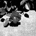 薔薇モノクローム