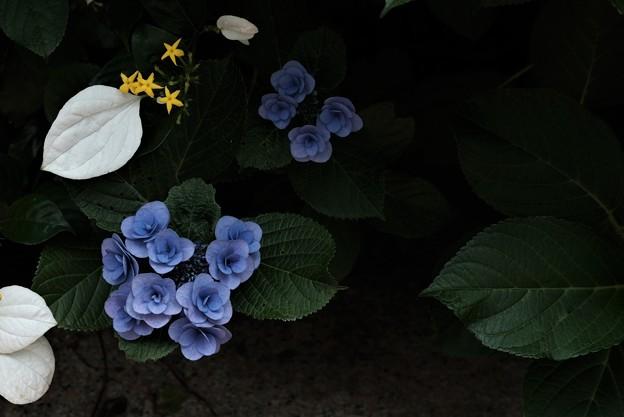 崑崙花、紫陽花