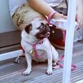 Photos: 祭りに来た犬2