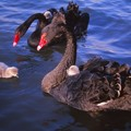 Photos: 黒鳥一家