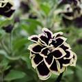 Photos: 黒い花