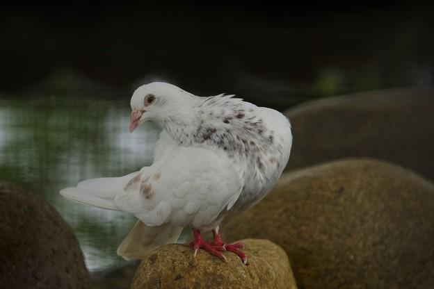 Photos: 白鳩
