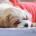 愛犬シーズー