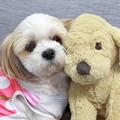Photos: 愛犬シーズー