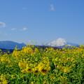 写真: 吾妻山公園菜の花