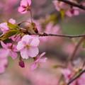 写真: 河津桜3