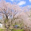 写真: 六義園枝垂れ桜