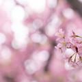 Photos: 三浦海岸桜