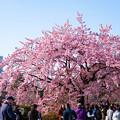 写真: 新宿御苑桜