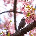 写真: 新宿御苑桜2