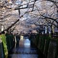 Photos: 目黒川桜