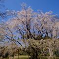 六義園枝垂れ桜