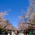 Photos: 上野公園桜