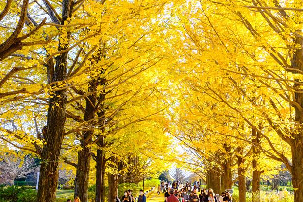 昭和記念公園黄葉