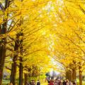 Photos: 昭和記念公園黄葉