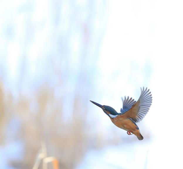 Photos: 真冬のカワセミ