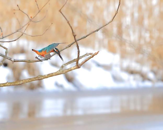 Photos: カワセミ