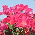 Photos: 春薔薇?
