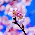 写真: 頼朝桜