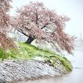 Photos: 元荒川堤の桜