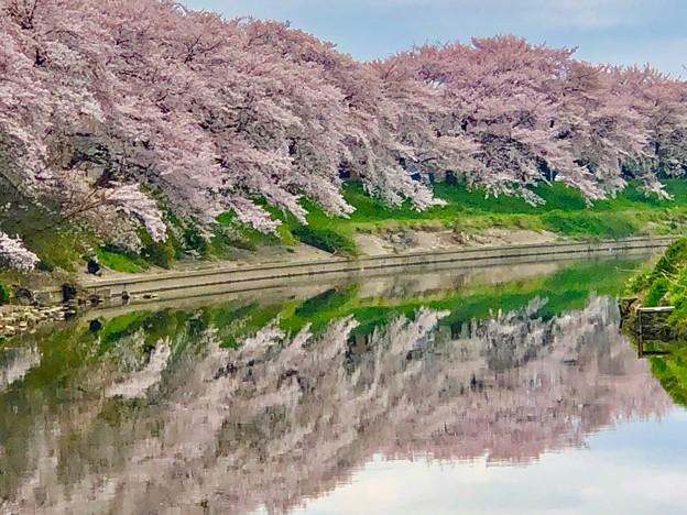 元荒川堤の桜