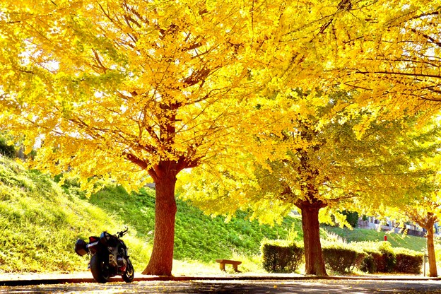 銀杏並木道
