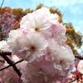 写真: 公園の里桜・1