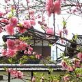 写真: 桃栗三年柿八年。