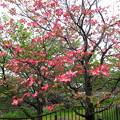 街のハナミズキが咲き出した。