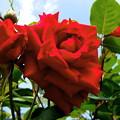 写真: 赤い薔薇ード。