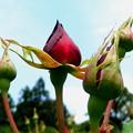 春の薔薇ード。