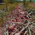 収穫,天日干し・タマネギ畑