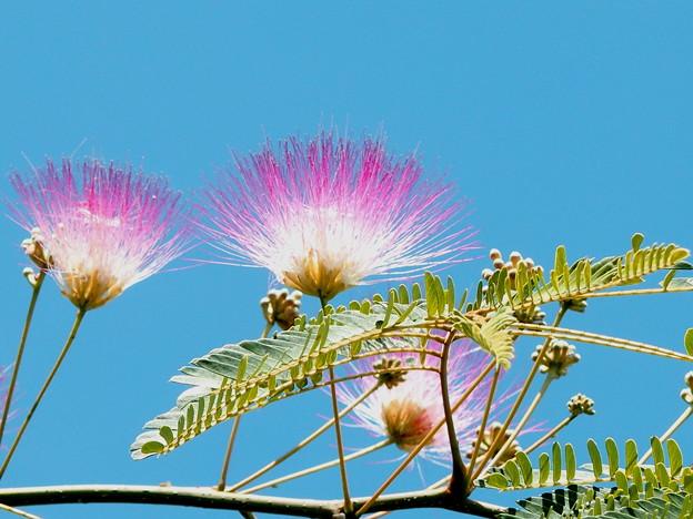 写真: 合歓の木の花。