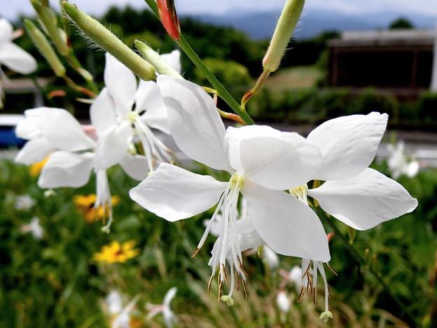 ガウラ(白蝶草)1