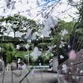 写真: ガウラ(白蝶草)1