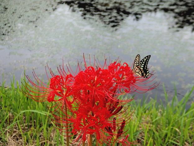 彼岸花と蝶4A