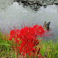 写真: 彼岸花と蝶4A
