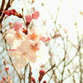 写真: さくら開花