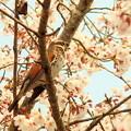 Photos: 桜とツグミ