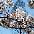 Photos: メタセコイヤと桜1