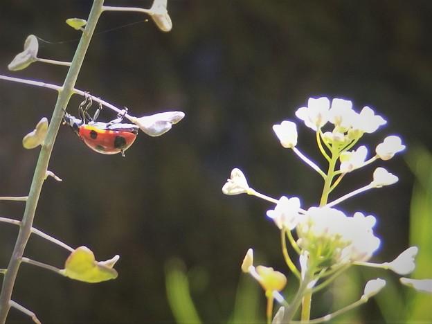 春が来た、てんとう虫とぺんぺん草。
