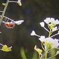 Photos: 春が来た、てんとう虫とぺんぺん草。