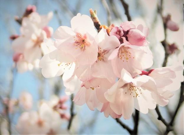 Photos: 桜が開花
