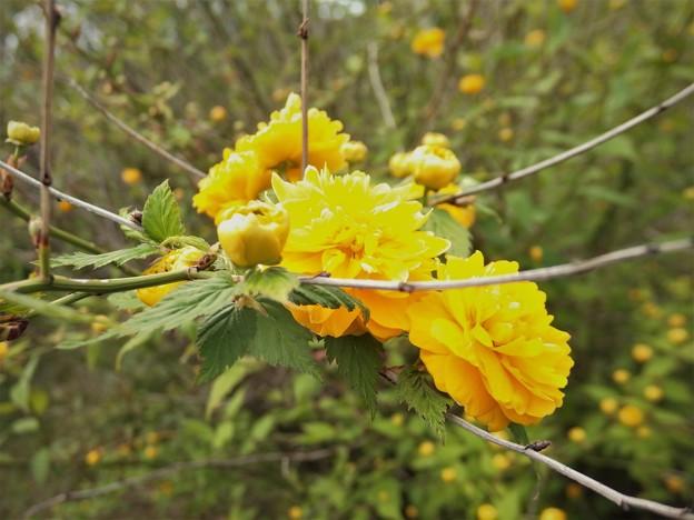 Photos: ヤマブキの花