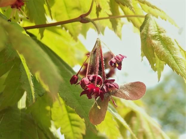 モミジの花A1