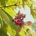 Photos: モミジの花A1