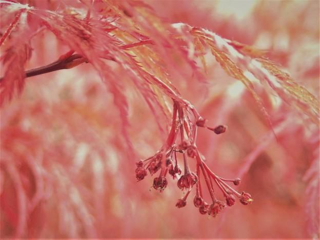 モミジの花B1