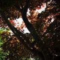 Photos: 初夏のモミジ