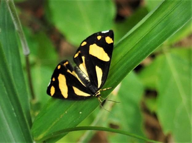 蝶のような蛾、キンモンガ。
